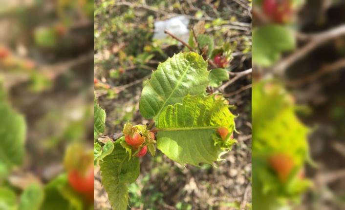 Bandırma'da kestane ağacındaki 'gal arısı' zararlısına karşı biyolojik mücadele başlatıldı