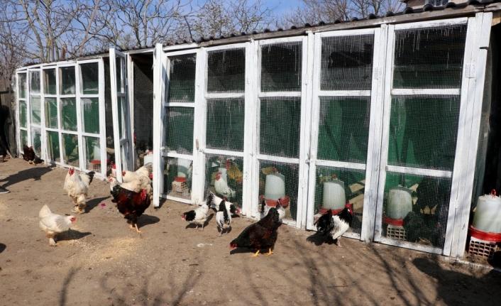 Cins tavuk yetiştiriciliği hobisini kazanca dönüştürdü