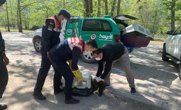 Jandarmanın ormanlık alanda bulduğu yavru ayı koruma altına alındı