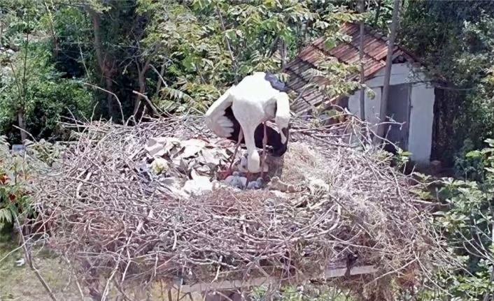 Bursa'da 10 yıldır aynı mahalleye gelen leylek Yaren'in 3 yavrusu dünyaya gözlerini açtı