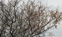 Bayramiç'te çiçek açan ağaçlar meyve verdi