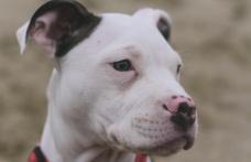 """""""Pitbull Köpekleri Kayıt Altına Alınıp Kısırlaştırılmalı"""""""