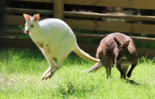 Valabi kanguruları, Ormanya ailesine katıldı