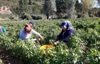 Büyükşehir destekliyor, Kocaelili çiftçiler üretiyor
