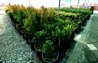 Altıeylül Belediyesinden bitki ve fidan yetiştiriciliği