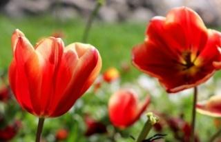 Edirne, açan rengarenk lalelerle güzelliğini taçlandırdı
