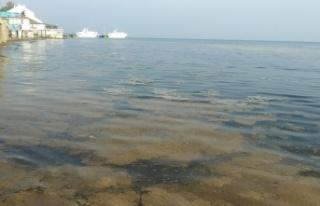 Plankton çoğalması sonucu Mudanya sahili kahverengiye...