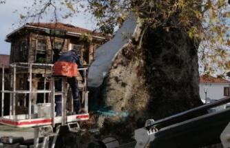1230 yıllık Çınar ağacının bakımı yapıldı