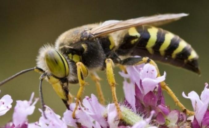 Eşek arılarının bu yeteneği çok şaşırttı!