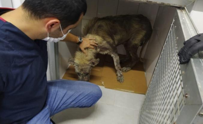 İzmit Belediyesi veterinerleri hasta köpeğin yardımına koştu