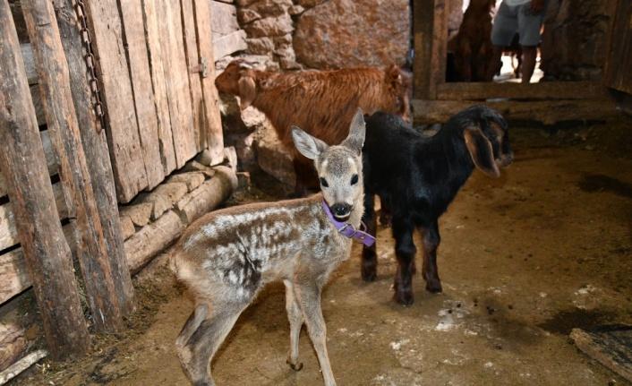 Yırtıcı hayvanlardan kaçan karaca yavrusuna, yavrusu ölen keçi annelik ediyor