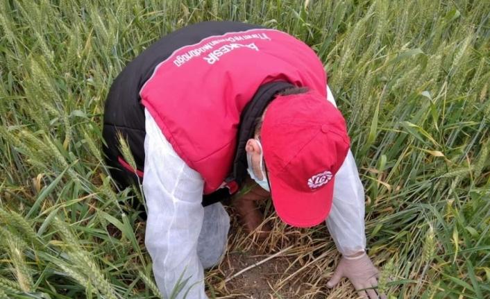 Buğday eken çiftçilere süneye karşı ilaçlama uyarısı