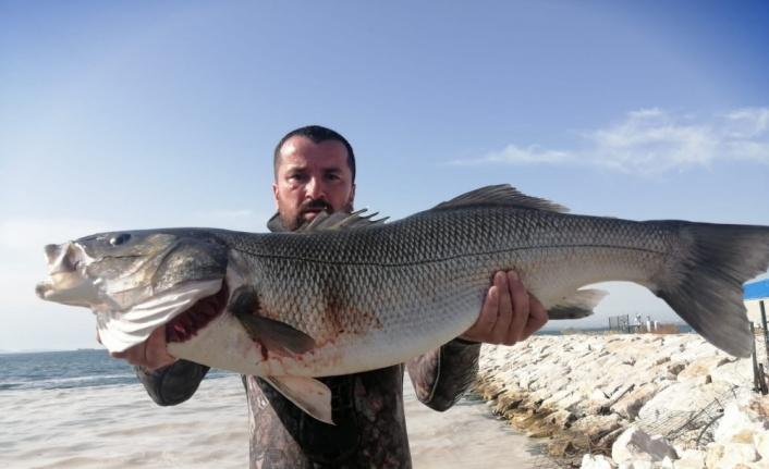 Marmara Denizi'nde zıpkınla 11 kilo 400 gram levrek avladı