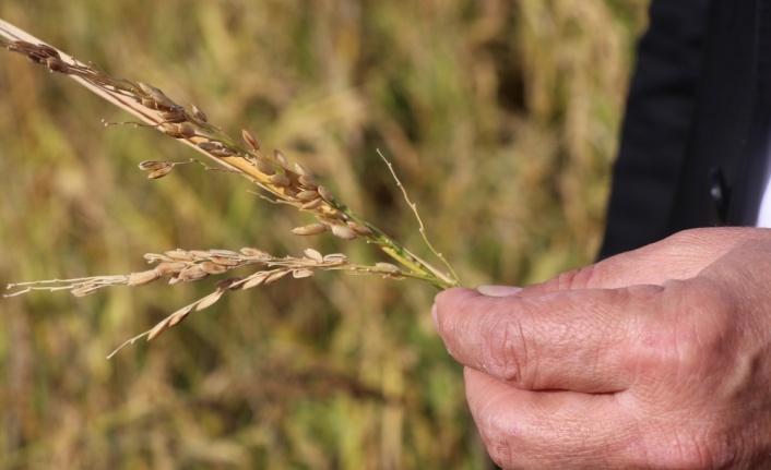 Dolu nedeniyle çeltik tarlaları zarar gördü