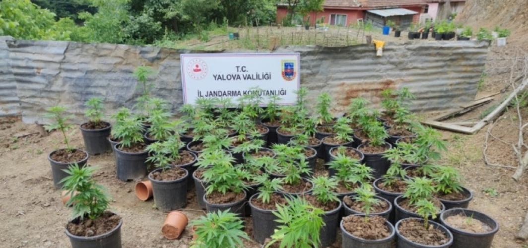 Yalova'da ev ve bahçede yetiştirilen 2 bin 767 kök Hint keneviri ele geçirildi