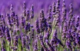 Lavanta ruh ve beden sağlığı için faydalar sunuyor