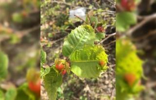 Bandırma'da kestane ağacındaki 'gal arısı' zararlısına...
