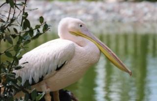 Kocaeli Ormanya Doğal Yaşam Parkı engelli pelikanlara...