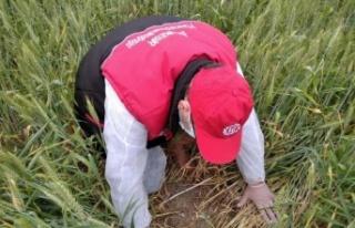 Buğday eken çiftçilere süneye karşı ilaçlama...