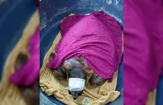 Saros Körfezi'nde yaralı bulunan caretta caretta...