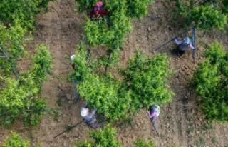Şeftali üreticisi kaliteyi artırmak için ağaçlarda...
