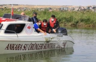 Ankara'da 100 bin sazan Mogan Gölü'ne...