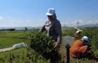 Yalova'da Tıbbi ve Aromatik Bitkiler Bahçesi'nde ilk hasat yapıldı