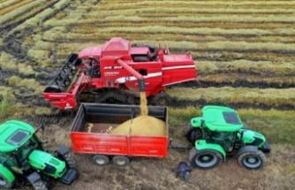 Türkiye'nin çeltik ambarı Edirne'de hasat başladı