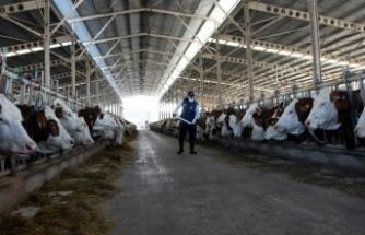 Üretilen sütün 4'te biri hastalıktan ari işletmelerden elde ediliyor