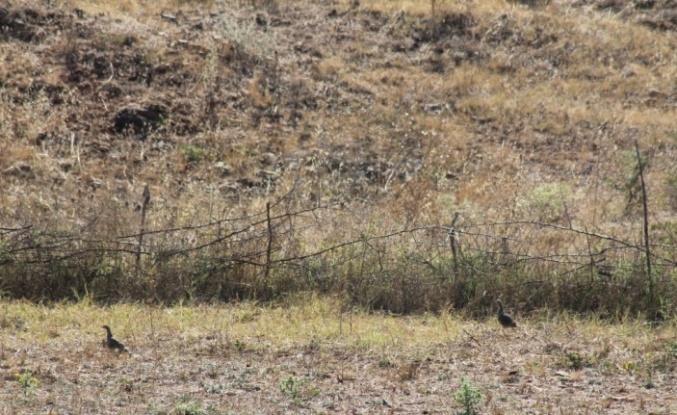 Manyas ilçesinde doğaya keklik salındı