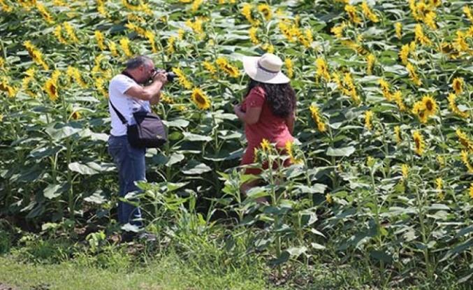 Sarıya bürünen ayçiçeği tarlalarında foto safari düzenlendi