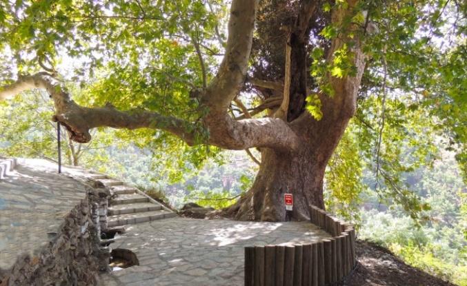 İzmir Karabağlar'da yüzlerce yıllık çınar gölgesinde serinletiyor