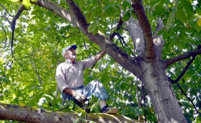 """Karamürsel'de bahçesinde yetiştirdiği cevizleri kendi toplayan """"Halit dede"""" örnek oluyor"""