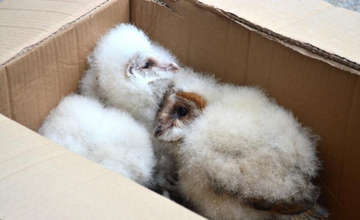 Çatı katında bulunan baykuş yavruları koruma altına alındı